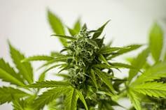 Online Weed Dispensaries in USA