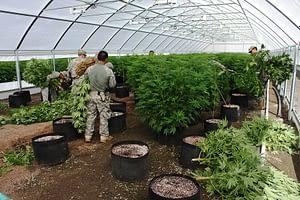 marijuana plant farm in los angeles